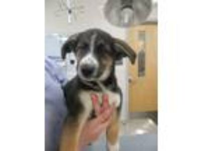 Adopt Titan a German Shepherd Dog