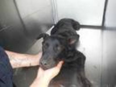Adopt Boss a Black German Shepherd Dog / Mixed dog in Philadelphia
