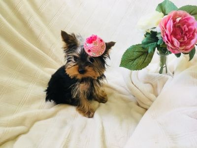 Yorkshire Terrier PUPPY FOR SALE ADN-98023 - Beautiful Teacup Yorkie Female Puppy