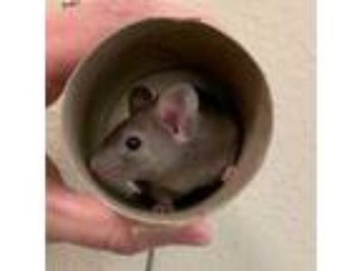 Adopt Vmo a Silver or Gray Mouse / Mouse / Mixed (short coat) small animal in