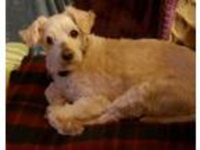 Adopt Zippie a Tan/Yellow/Fawn Poodle (Miniature) / Mixed dog in San Pablo