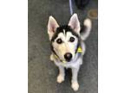 Adopt KODA a Black - with White Husky / Mixed dog in Toledo, OH (25307898)
