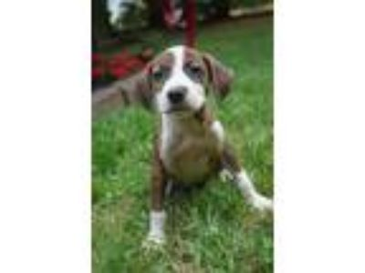 Adopt Bryn a Brindle - with White Boxer / Beagle / Mixed dog in West Nyack