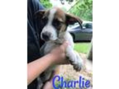 Adopt 5 Lab/Hound Puppies a Labrador Retriever, Hound
