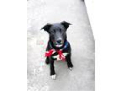 Adopt Duke a Black - with White Labrador Retriever / Mixed dog in Vancouver