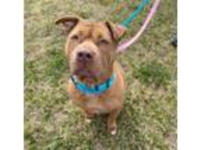 Adopt Gemma a Tan/Yellow/Fawn Shar Pei / American Pit Bull Terrier / Mixed dog