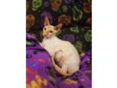 Adopt Nicky a Cornish Rex