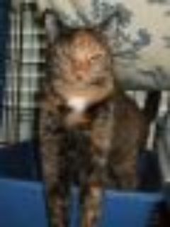 Confetti Tortoiseshell Cat