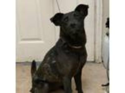 Adopt Rachany a Black Labrador Retriever / Mixed dog in Waxahachie