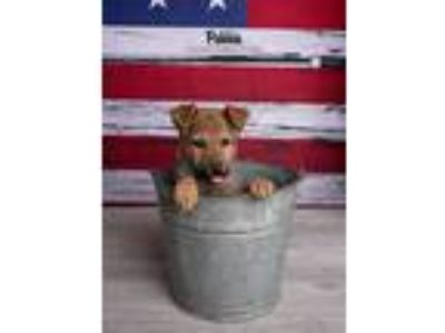 Adopt Pebbie a German Shepherd Dog