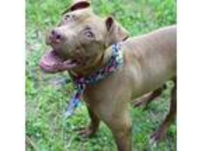 Adopt Wiggle a Brown/Chocolate American Pit Bull Terrier / Mixed dog in