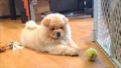 Chow Chow PUPPY FOR SALE ADN-108565 - Gorgeous Fluffy Creamy white Chow puppy Available