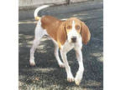 Adopt Colby a Hound