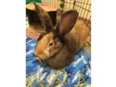 Adopt Peep a Harlequin / Mixed rabbit in Stratham, NH (25918197)