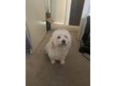Adopt Dior a White Shih Tzu / Poodle (Standard) / Mixed dog in Huntington Beach