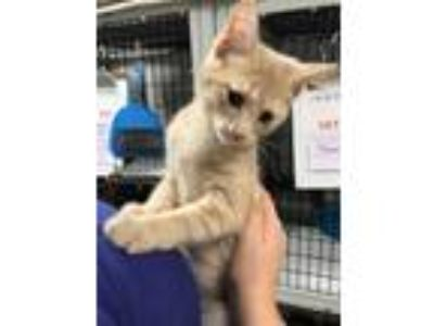 Adopt Fritz a Orange or Red Tabby Domestic Shorthair (short coat) cat in Byron