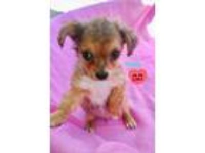 Adopt Yuri a Yorkshire Terrier, Poodle