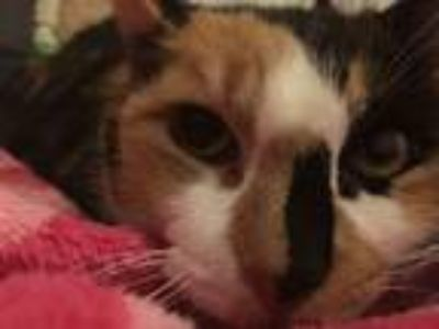 Adopt Girly a Calico