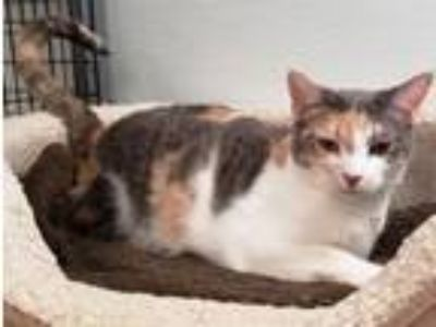 Adopt Stephanie a Domestic Short Hair
