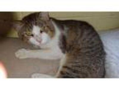 Adopt Tom Tom a Gray, Blue or Silver Tabby Domestic Shorthair (short coat) cat