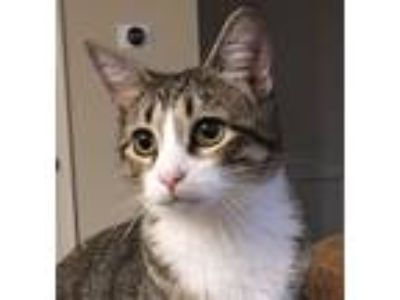 Adopt Penelope a Gray, Blue or Silver Tabby Calico cat in Cumming, GA (25333905)