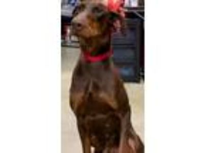 Adopt BLADE a Doberman Pinscher / Mixed dog in Ringoes, NJ (25772797)