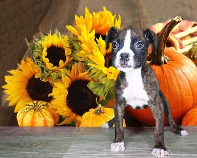Bruce is a knockout! Male Boxer! www.PuppiesForSaleToday.com