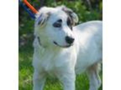 Adopt Lily of the Valley a Great Pyrenees, Mixed Breed