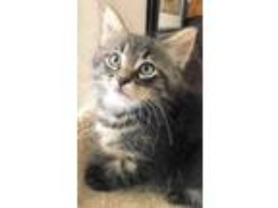 Adopt Jason a Brown or Chocolate Domestic Mediumhair / Domestic Shorthair /