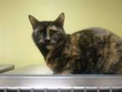 Adopt Honey a Domestic Shorthair / Mixed cat in Osage Beach, MO (20852183)
