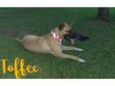 Adopt Toffee a Great Dane