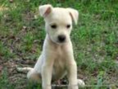Adopt ACE/ADOPTED a White - with Red, Golden, Orange or Chestnut Border Collie /