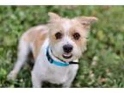 Adopt PUMBAA a Terrier (Unknown Type, Medium) / Mixed dog in Spring Valley