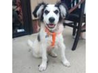 Adopt Stiller a Great Pyrenees, Husky