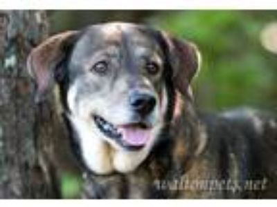 Adopt Basil a Brown/Chocolate - with Black Anatolian Shepherd / Shepherd