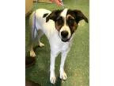 Adopt Olivia a White Border Collie / Mixed dog in Florence, AL (24978231)