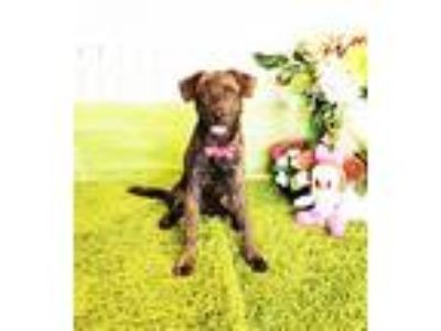 Adopt Lily a Brindle Labrador Retriever / Mixed dog in Castro Valley