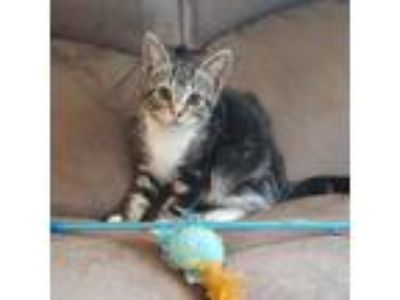 Adopt Bonnie a Brown or Chocolate Domestic Shorthair cat in Pendleton