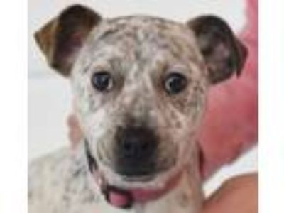 Adopt Wallace Puppy a Australian Cattle Dog / Blue Heeler