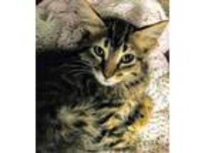 Adopt Rogue a Brown Tabby Domestic Mediumhair (medium coat) cat in Winter Haven
