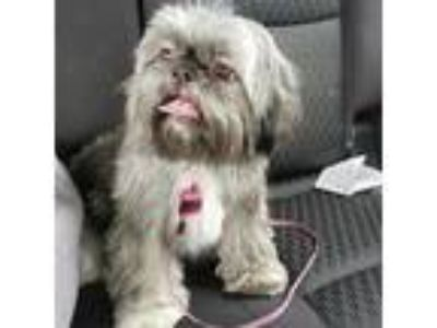 Adopt Tallulah a Gray/Silver/Salt & Pepper - with Black Shih Tzu dog in Helena