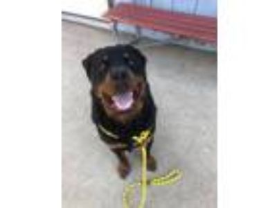 Adopt Ares a Rottweiler