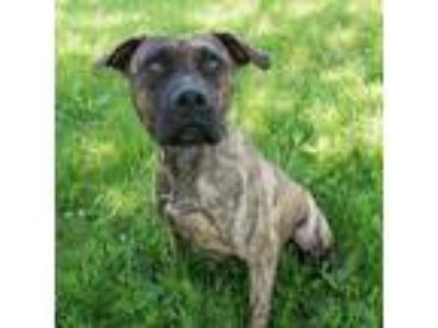 Adopt Murphy a Brindle Pit Bull Terrier / Boxer / Mixed dog in Troy