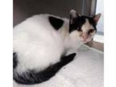 Adopt SOPHIA a White (Mostly) Domestic Shorthair / Mixed (short coat) cat in