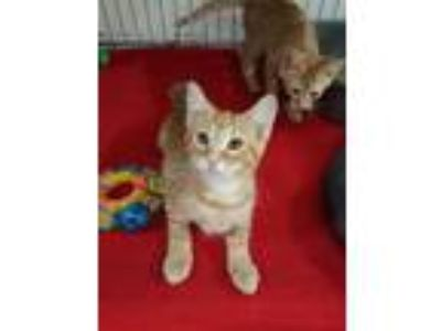 Adopt Mandarin a Tabby, Domestic Short Hair