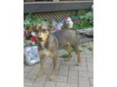 Adopt Juliana a Brown/Chocolate Shepherd (Unknown Type) / Mixed dog in West