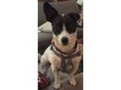 Adopt Sophie a Jack Russell Terrier (Parson)