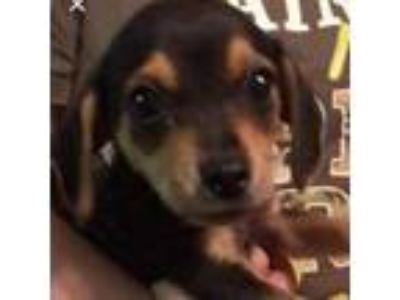 Adopt Boomer a Tan/Yellow/Fawn Dachshund dog in Pendleton, NY (25542407)