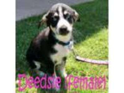 Adopt Deedsie a Tricolor (Tan/Brown & Black & White) Husky / Border Collie /