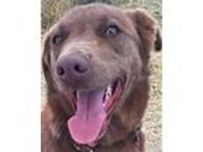 Adopt Mocha a Brown/Chocolate Labrador Retriever / Australian Cattle Dog / Mixed